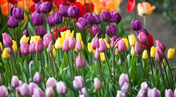 Things to do on Sunday: Tulips