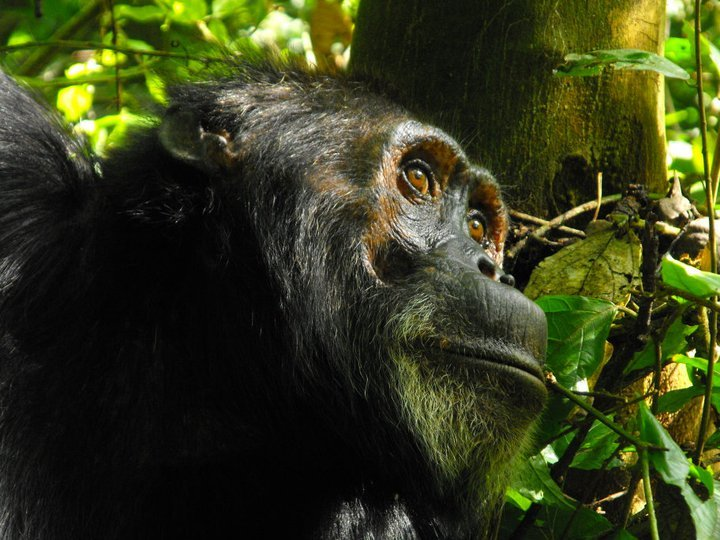 Chimpanzee at Rubondo Island National Park