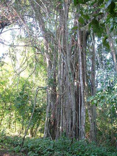 Forest on Rubondo Island