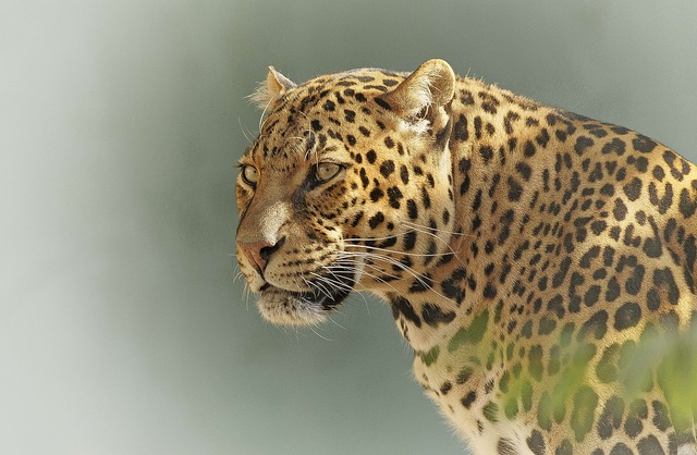 A leopard in the wild