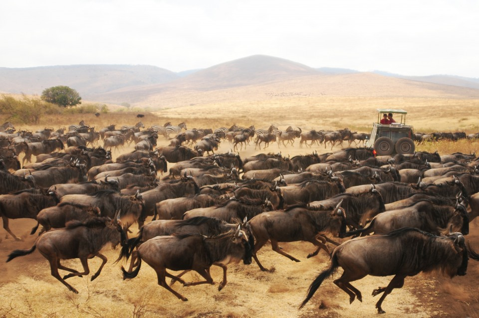 Wildebeest Migration Stampede in Serengeti