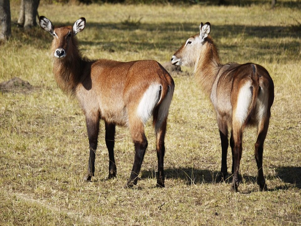 Defassa Waterbuck in Lake Mburo National Park