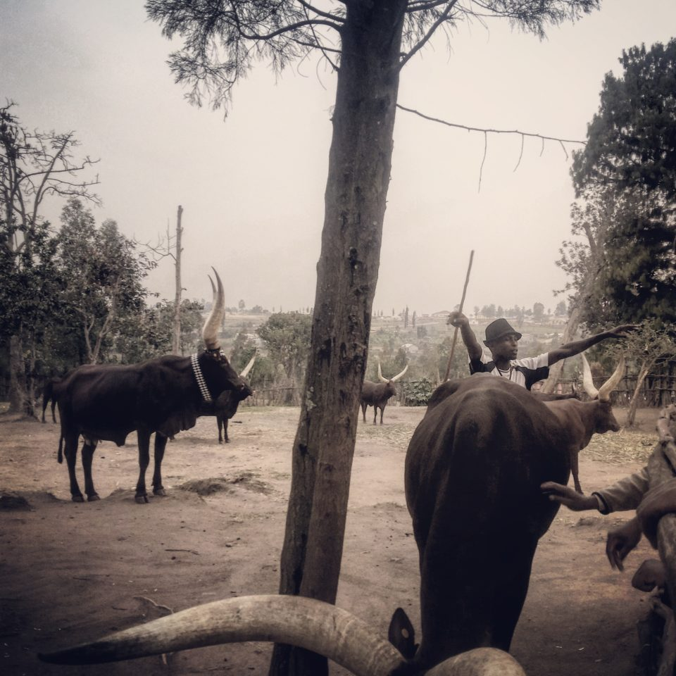 A Herdsman & Cows at The King's Palace Museum in Nyanza, Rwanda