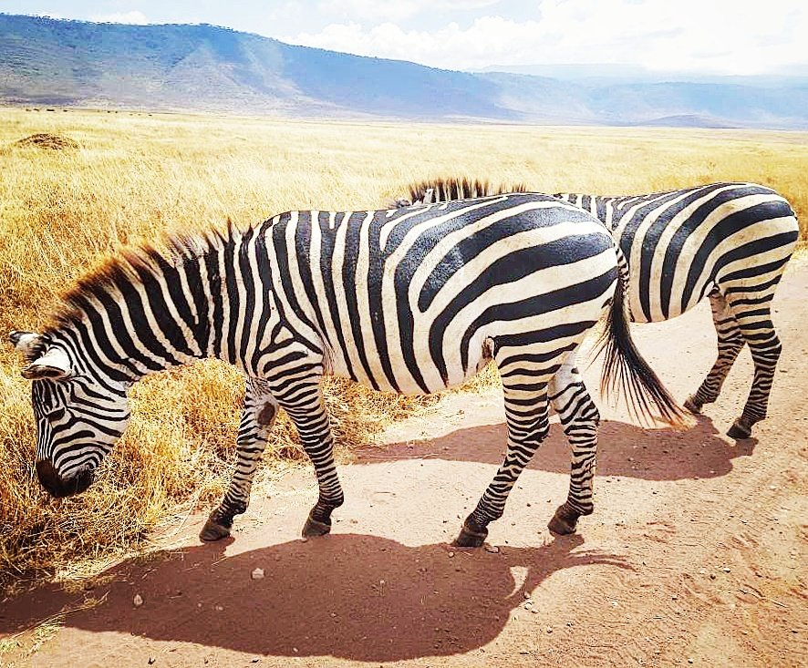 Two Zebras Ngorongoro