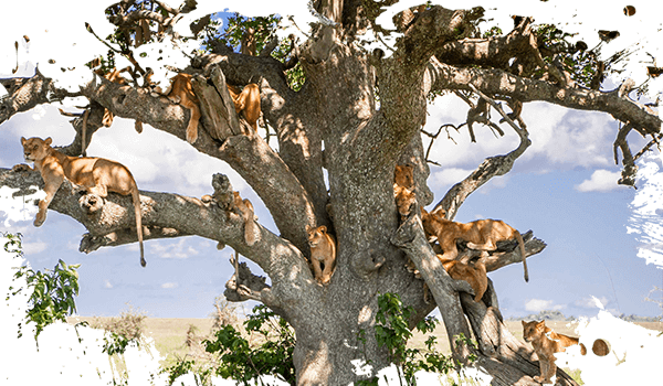 Lions in a tree, Tarangire National Park